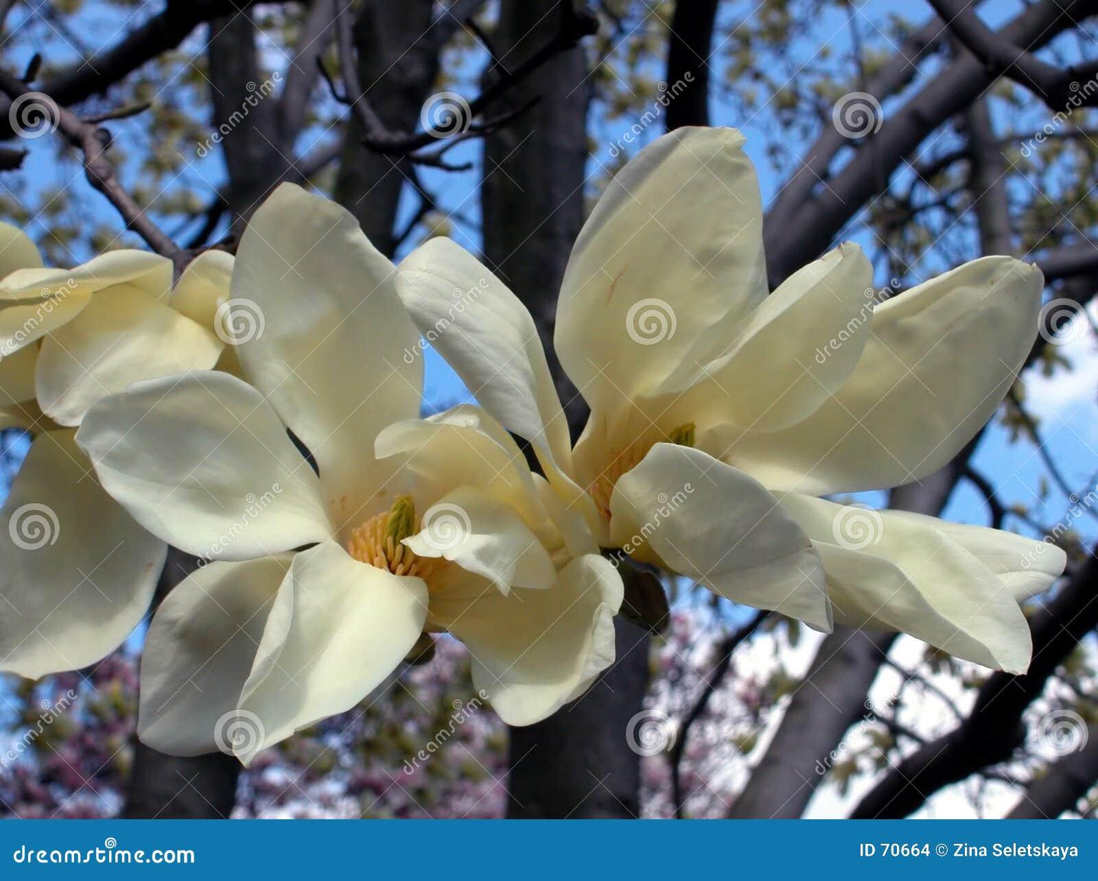 λευκό magnolia