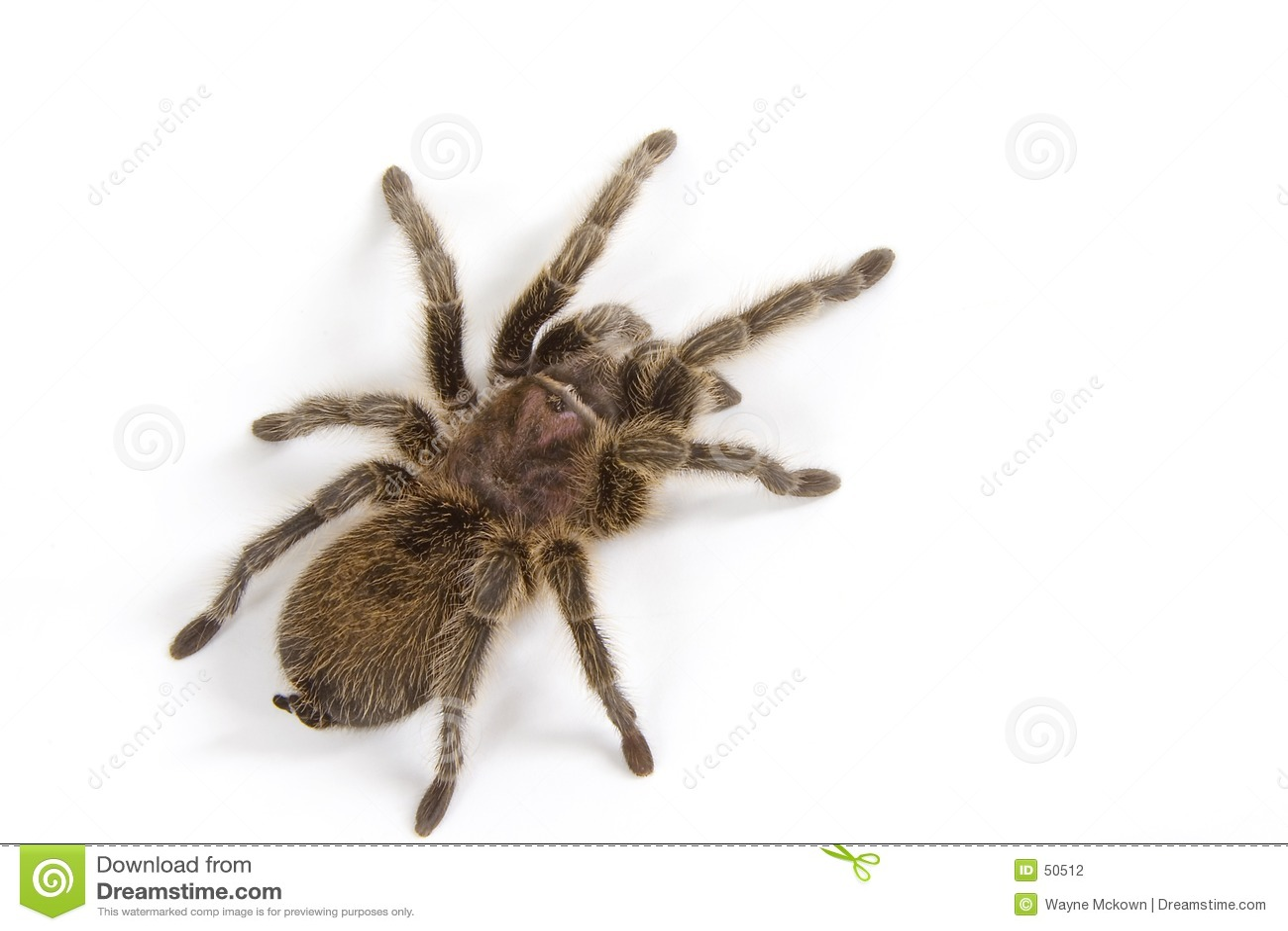 λευκό tarantula