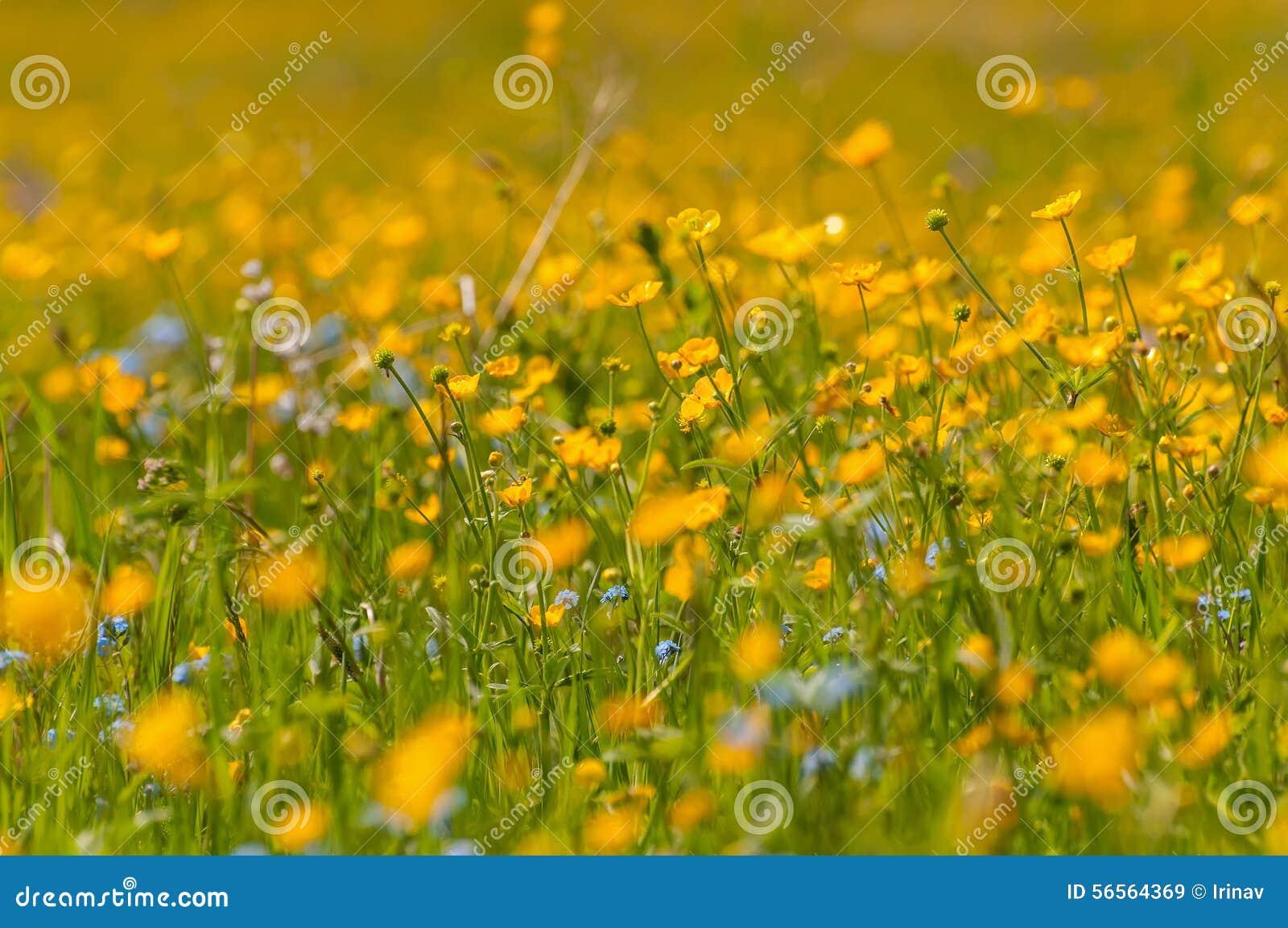 Download Λιβάδι λουλουδιών νεραγκουλών Στοκ Εικόνα - εικόνα από γραφικός, ανθίζοντας: 56564369