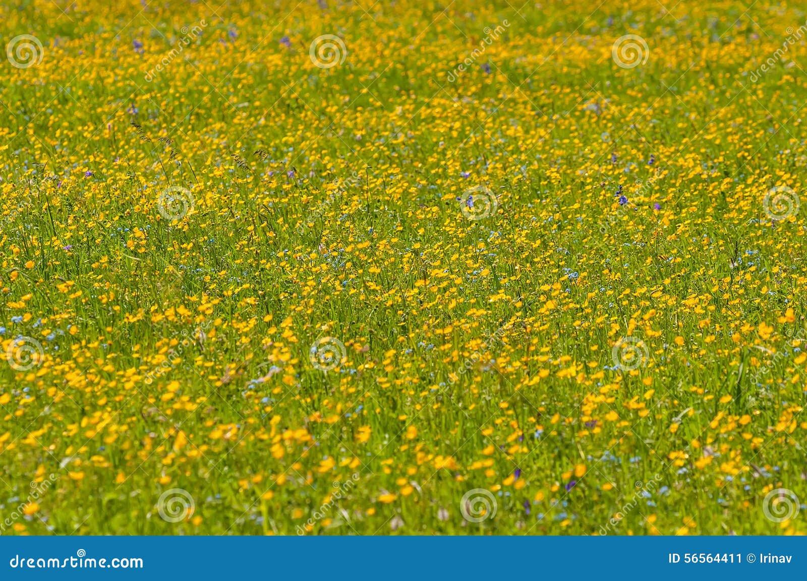 Download Λιβάδι λουλουδιών νεραγκουλών Στοκ Εικόνα - εικόνα από λεπτός, φυσικός: 56564411