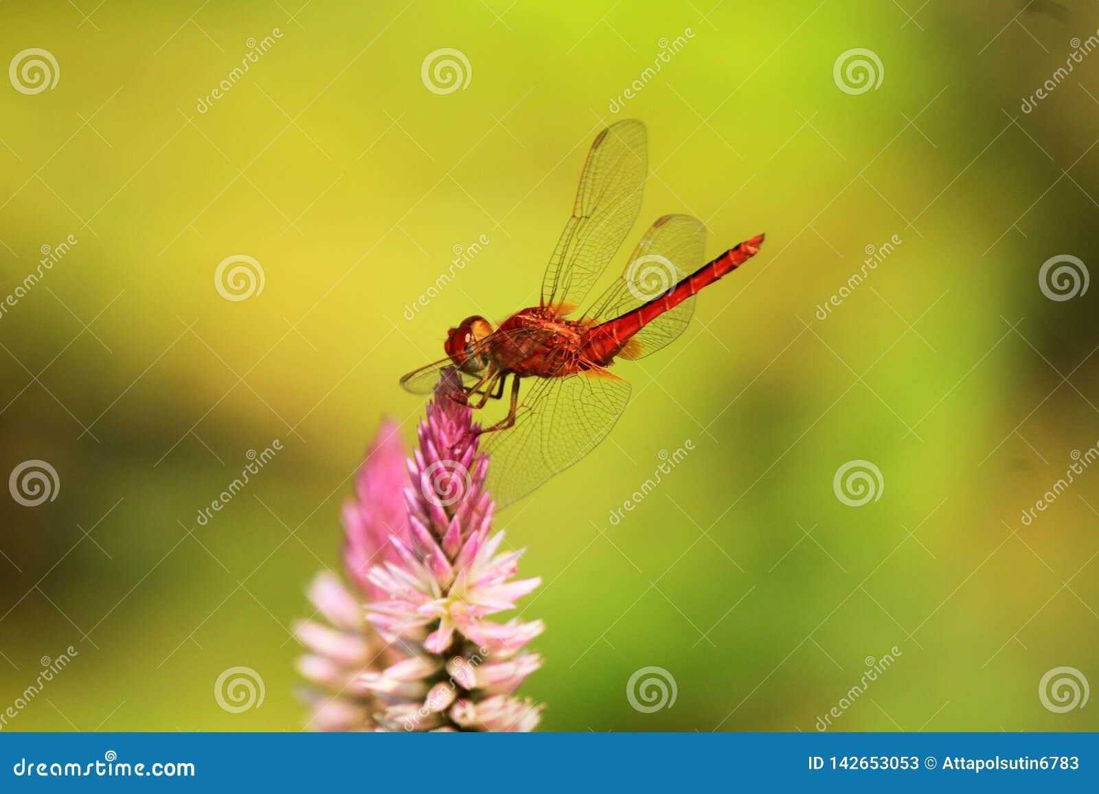 Λιβελλούλη που προσγειώνεται στο τοπ λουλούδι