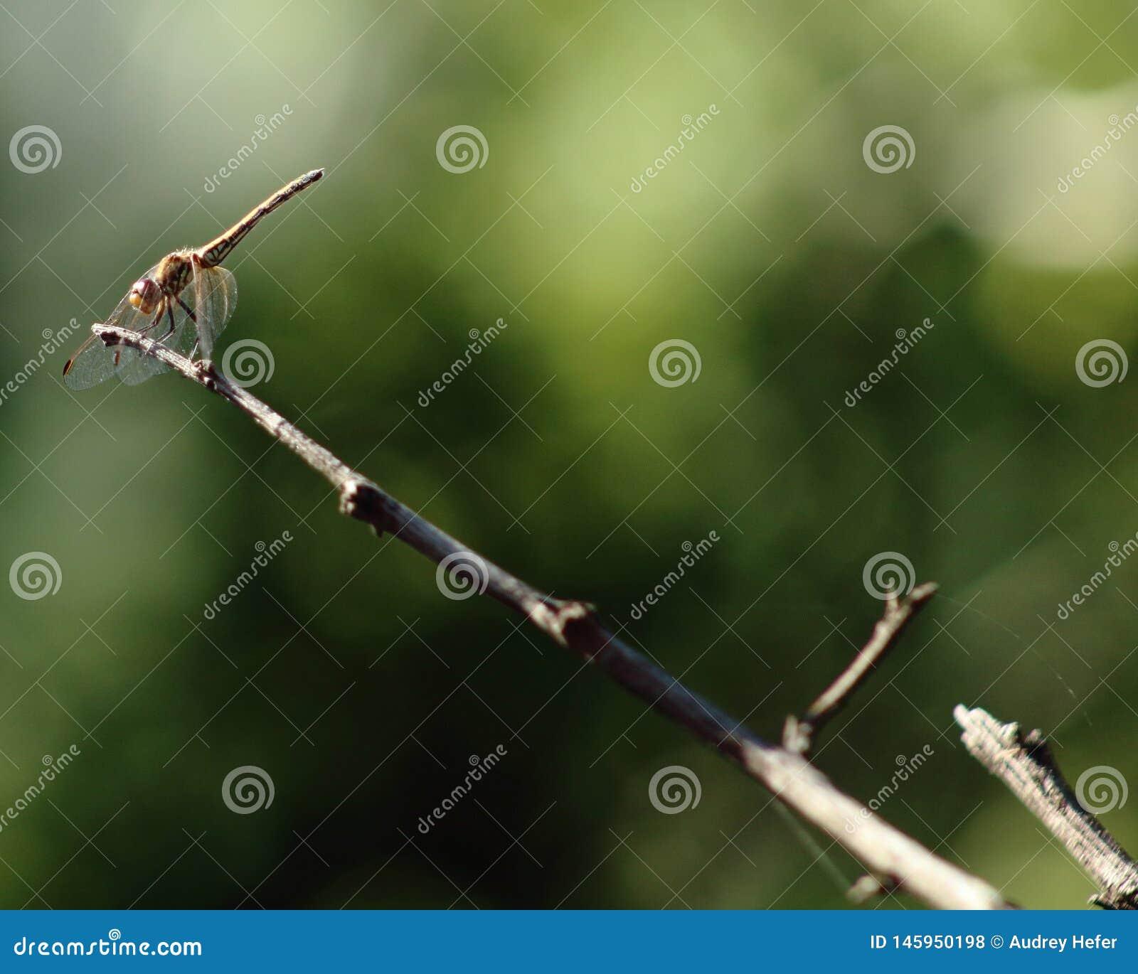 Λιβελλούλη που σκαρφαλώνει ανεμοδαρμένη στην άκρη του κλαδίσκου