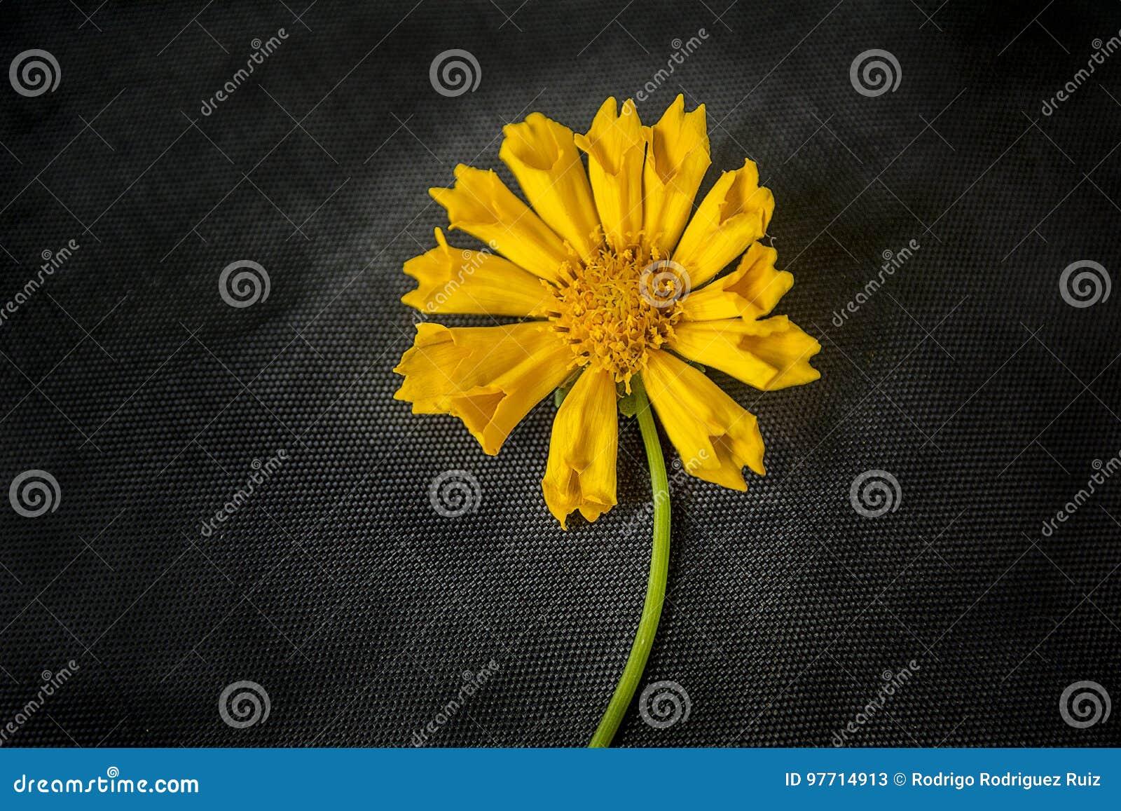 Λικνίζοντας κίτρινο λουλούδι