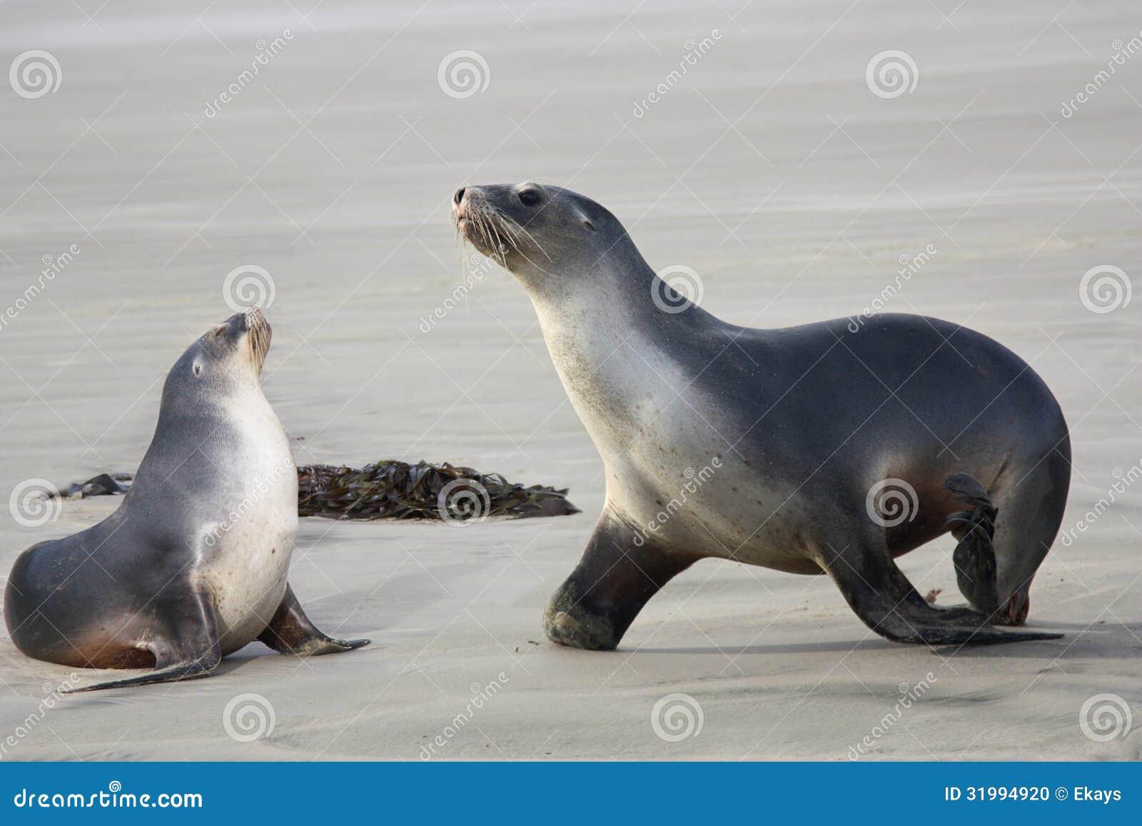 Λιοντάρια δύο θάλασσας