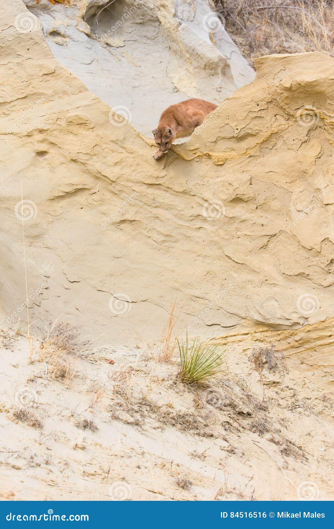 Λιοντάρι βουνών που κρυφοκοιτάζει πέρα από την άκρη ή την κορυφογραμμή