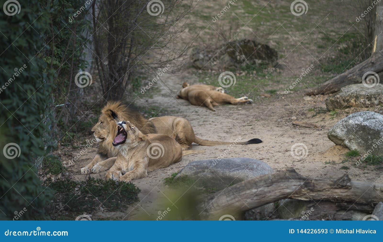 Λιοντάρι και λιονταρίνα που βρίσκονται και που χασμουριούνται στο ζωο