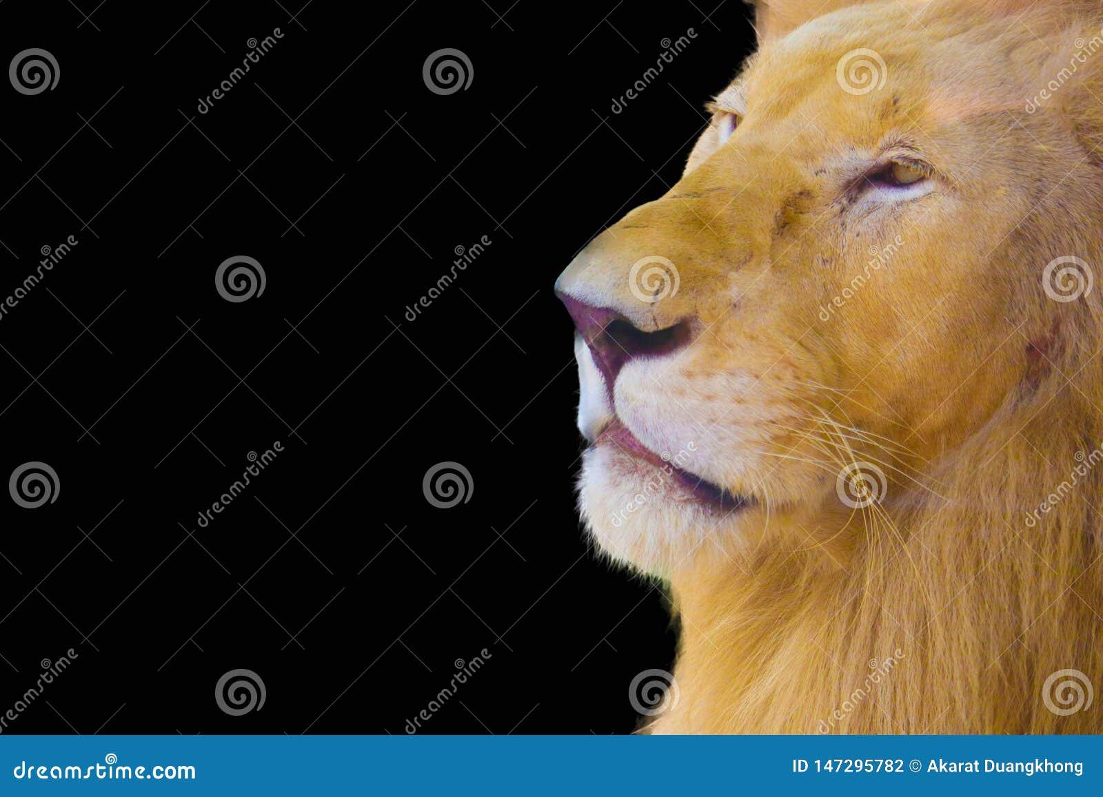 Λιοντάρι που απομονώνεται στο μαύρο υπόβαθρο
