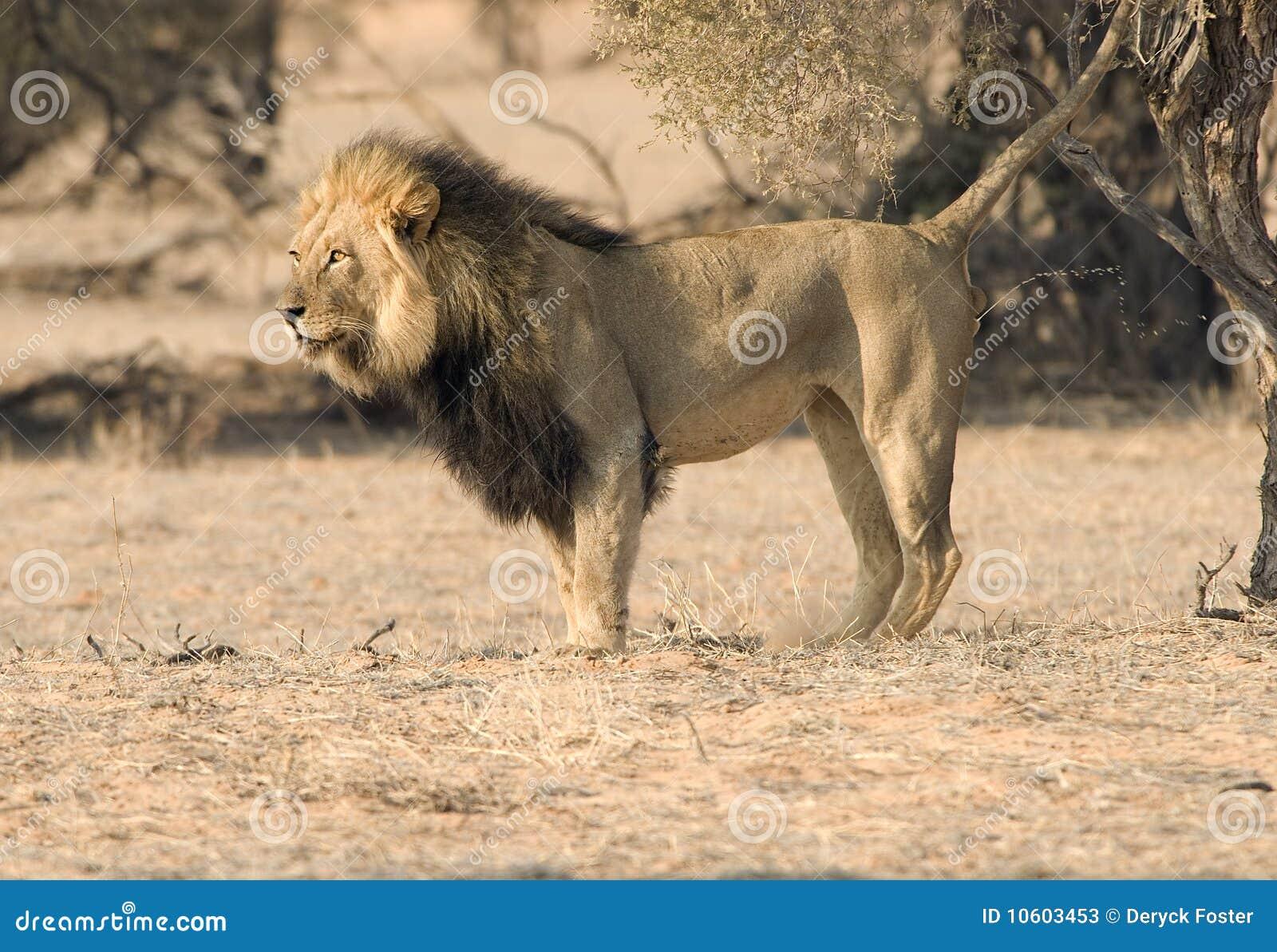 λιοντάρι που χαρακτηρίζε