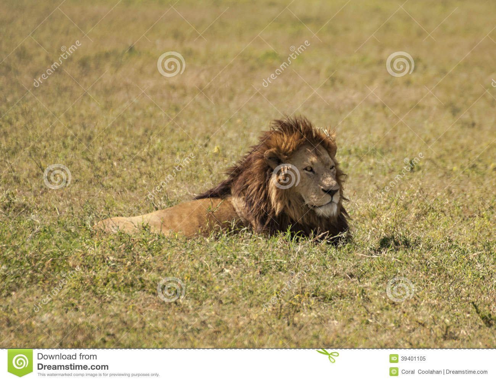 Λιοντάρι στη χλόη