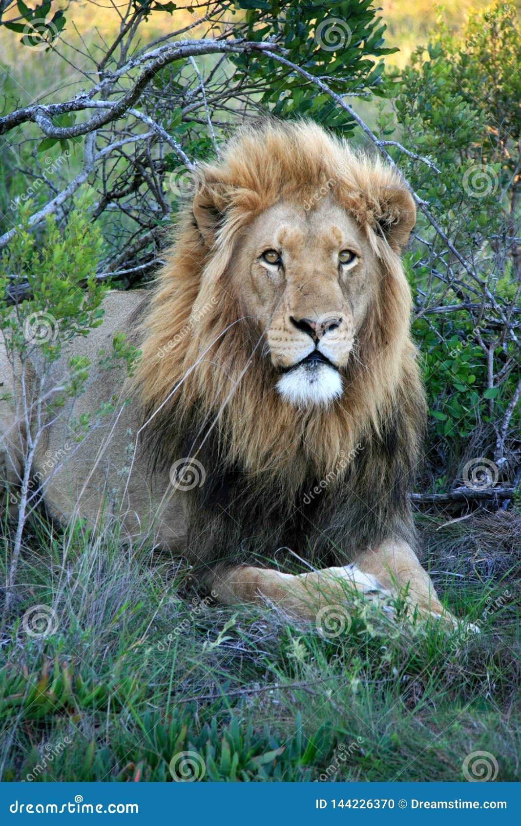 λιοντάρι χλόης που βρίσκεται αρσενικό