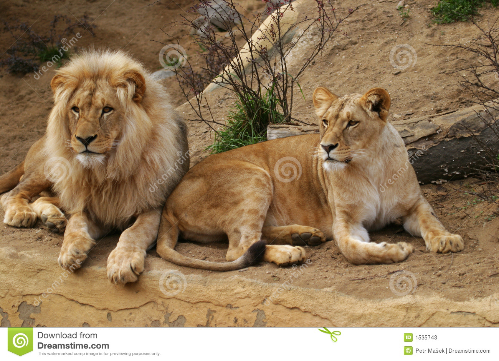 λιονταρίνα λιονταριών της Ανγκόλα