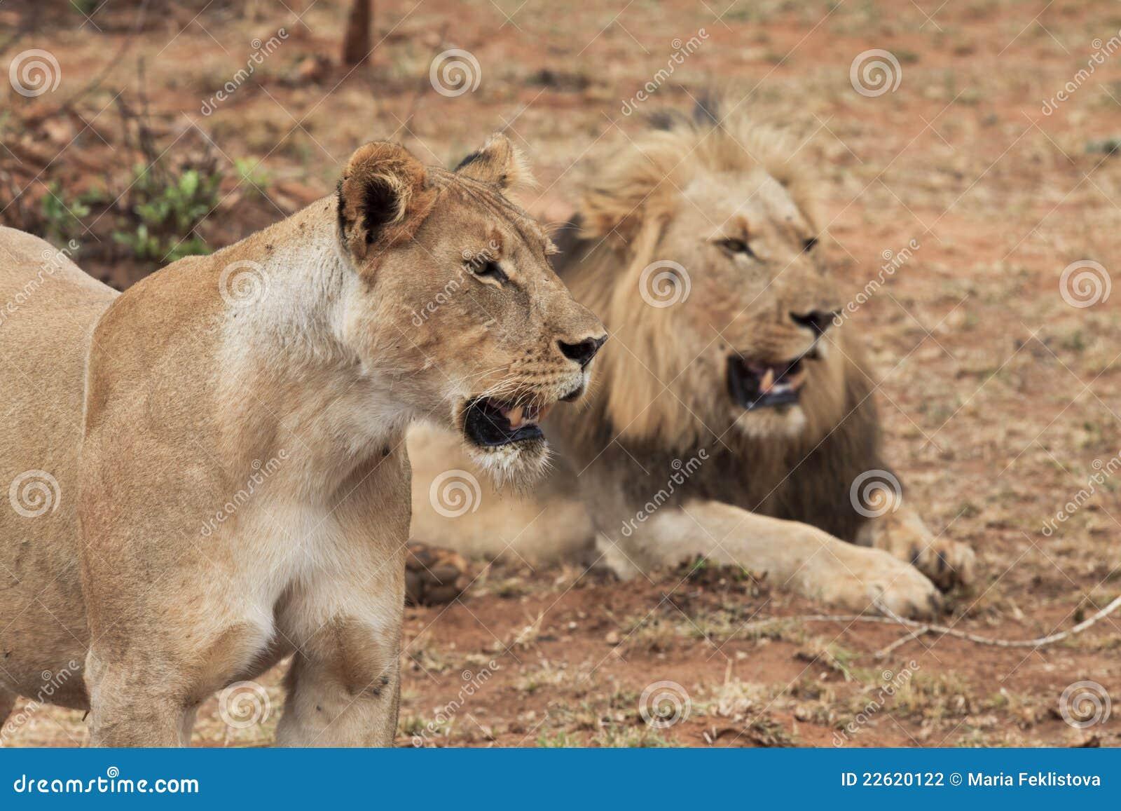 λιονταρίνα λιονταριών