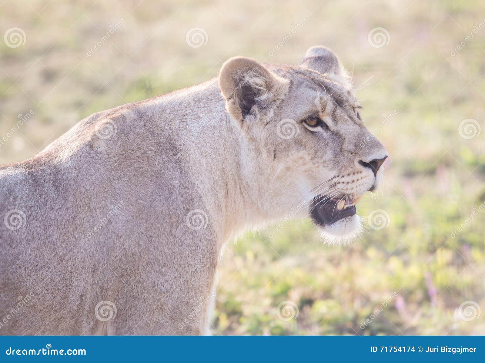 Λιονταρίνα με ένα ανοικτό στόμα