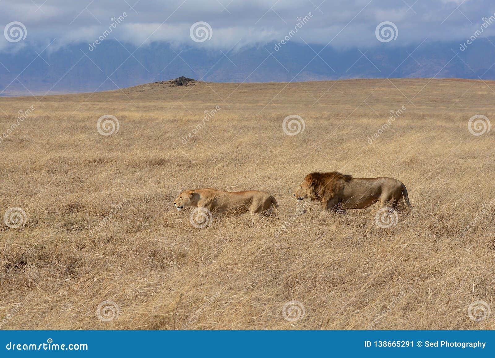 Λιονταριών στον κρατήρα Ngorongoro της Τανζανίας