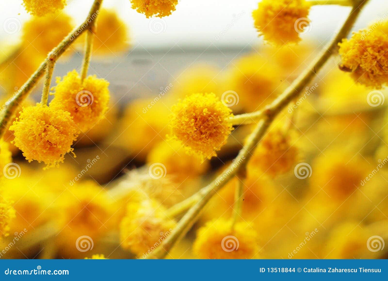 λουλούδια ακακιών