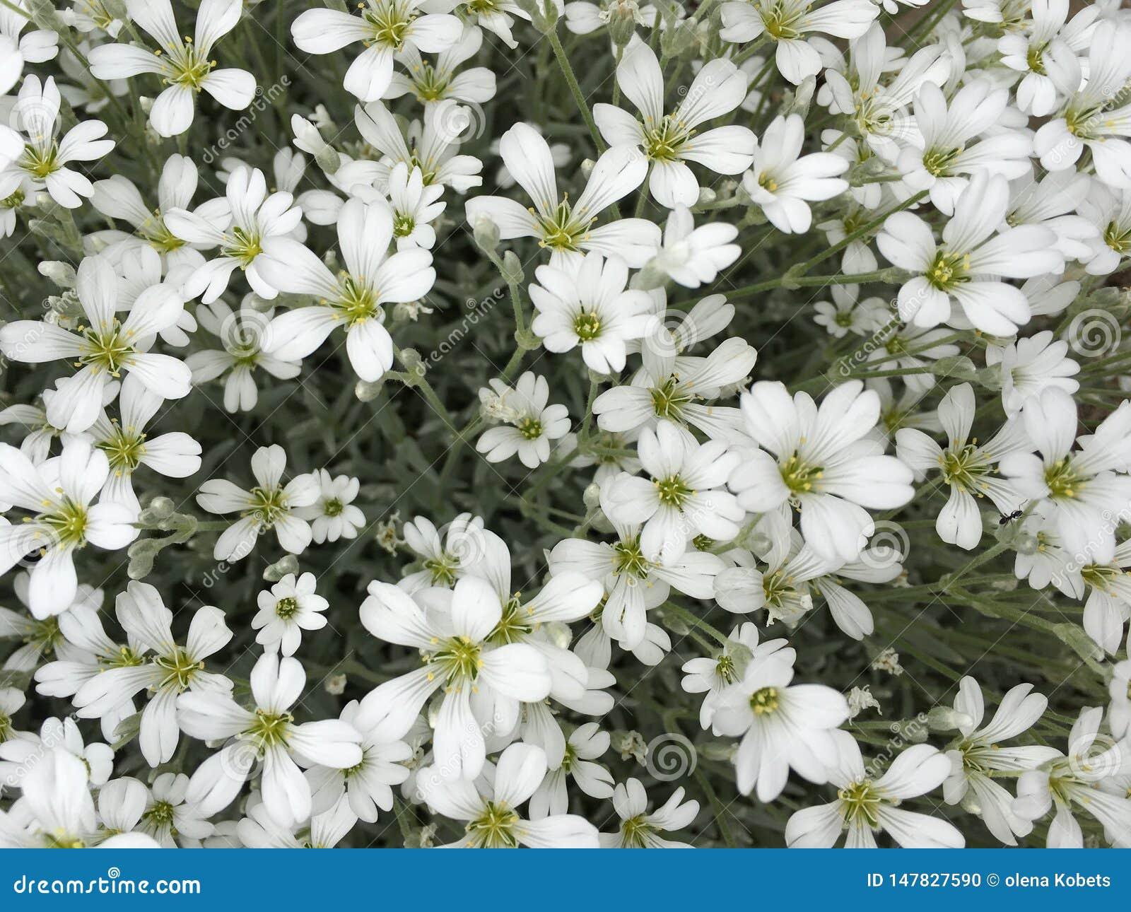 Λουλούδια, ακριβώς άσπρα μικρά λουλούδια, αλλά τόσο αρκετά