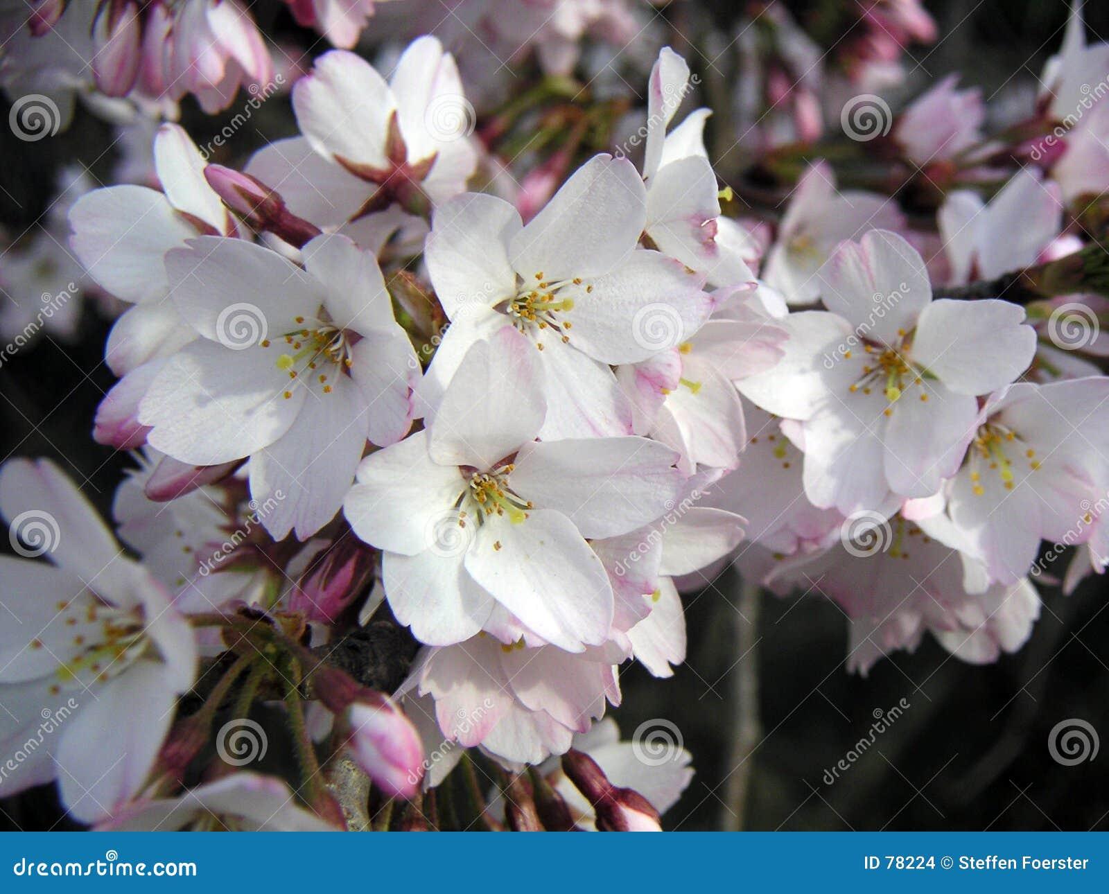 λουλούδια κερασιών
