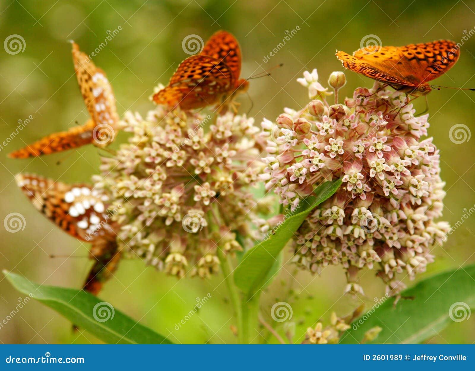 λουλούδια πεταλούδων