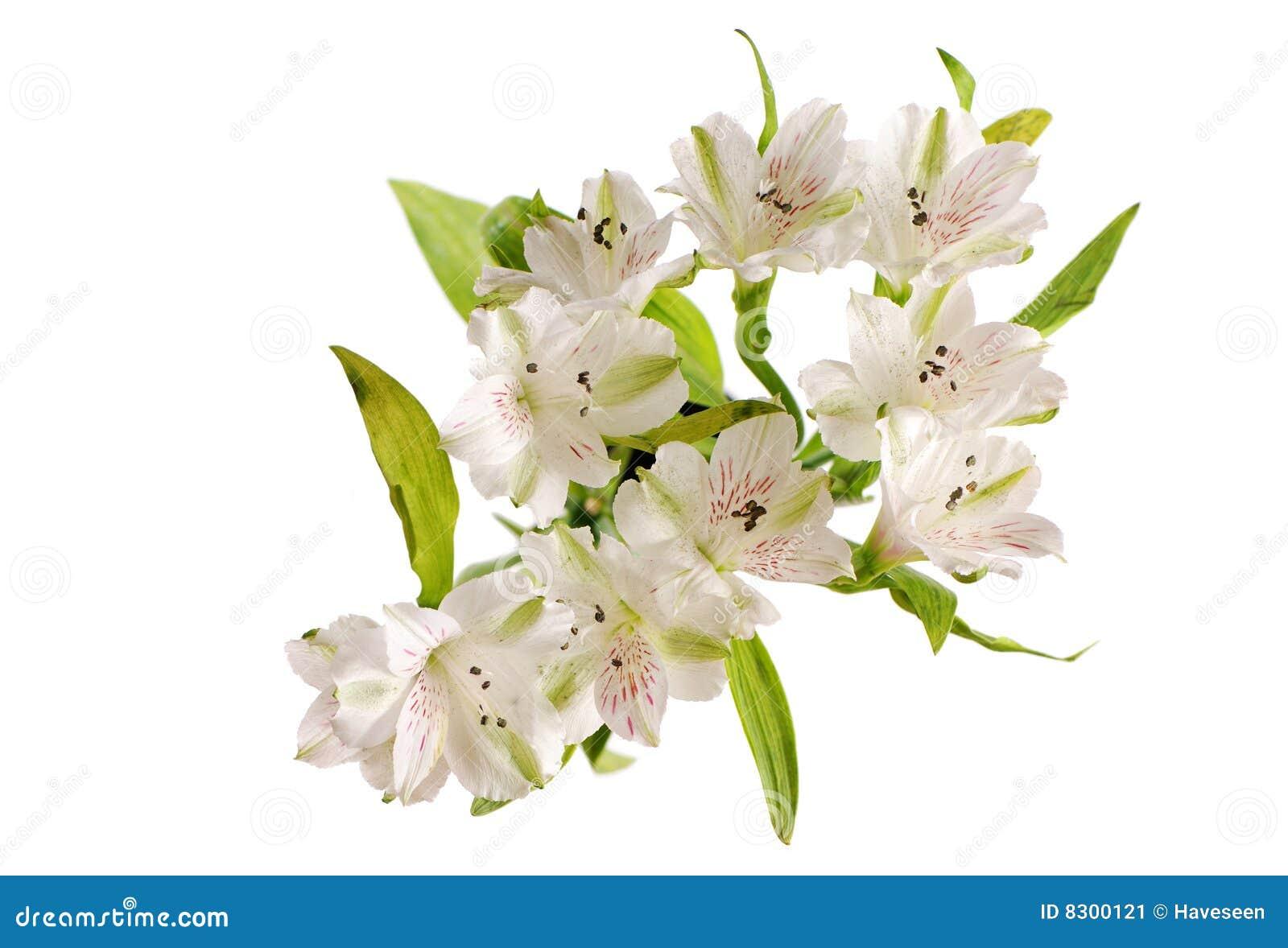 λουλούδια alstroemeria