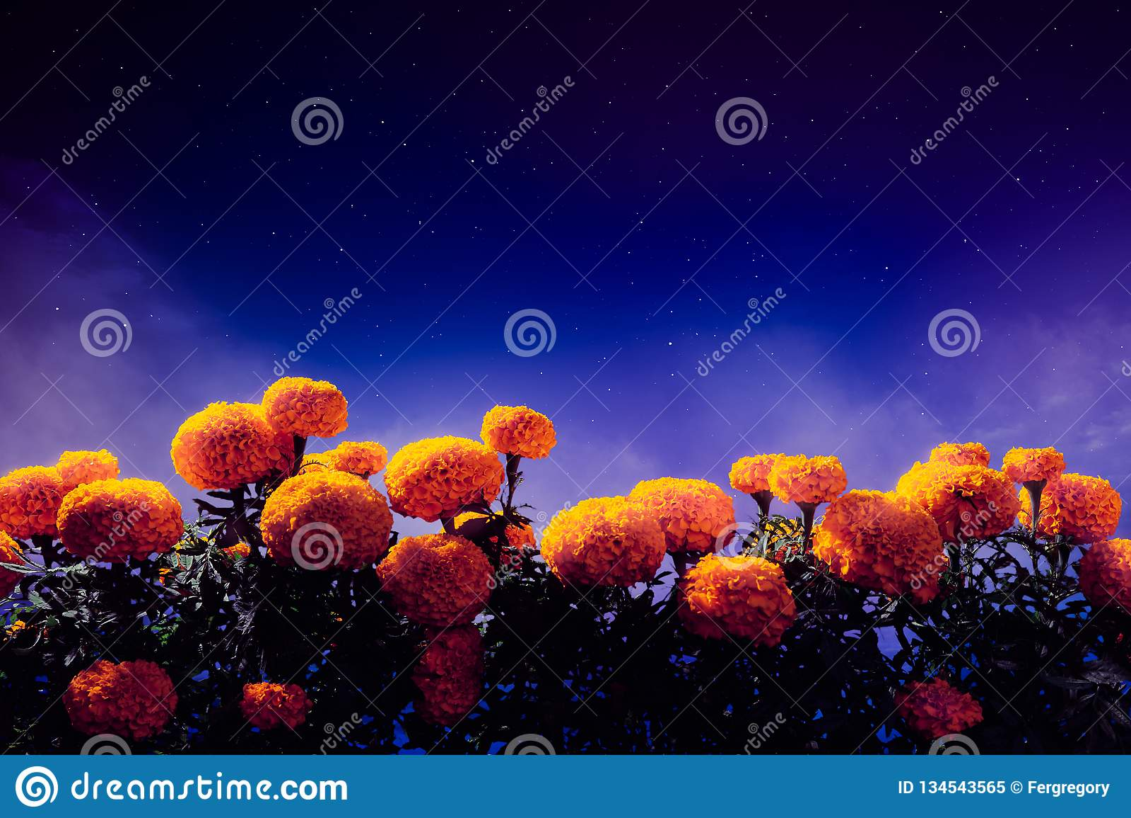 Λουλούδια Cempasuchil που χρησιμοποιούνται για την ημέρα των νεκρών βωμών