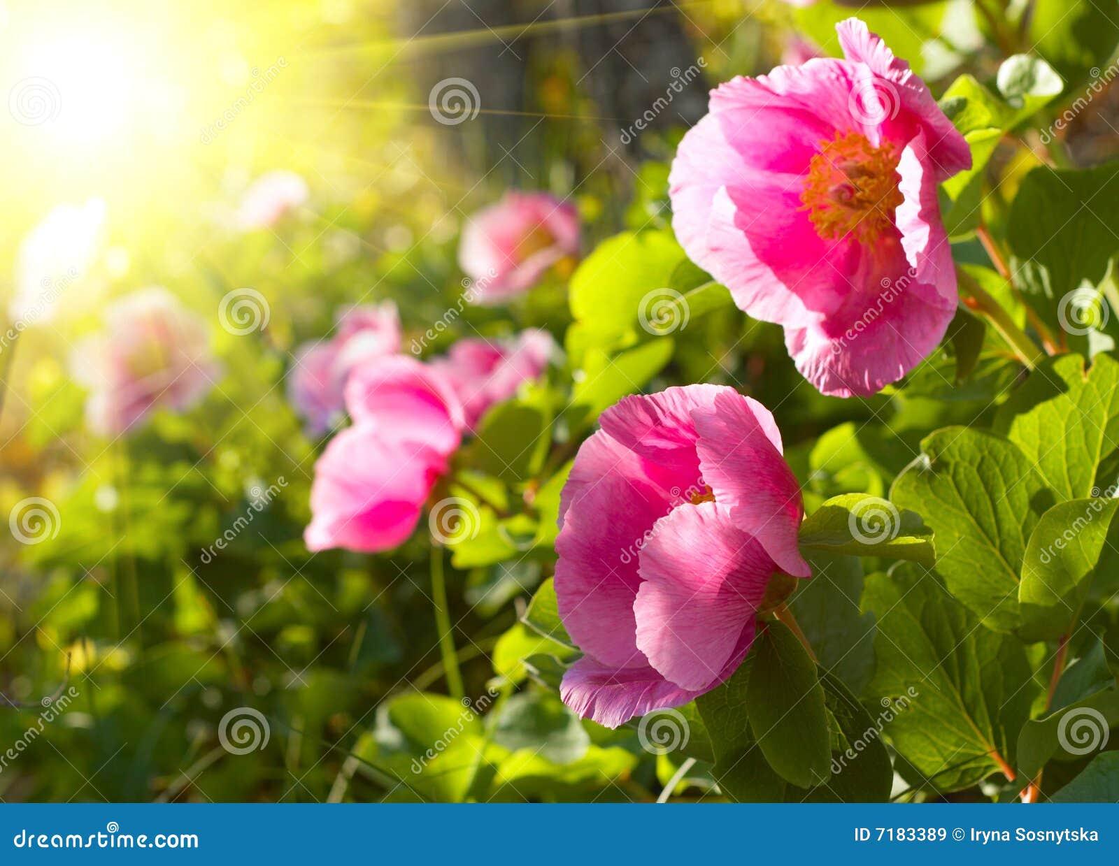 Λουλούδια Peony
