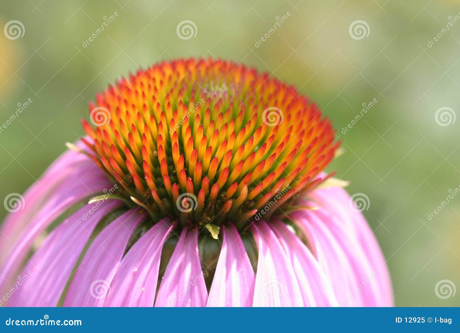 λουλούδι ανθών