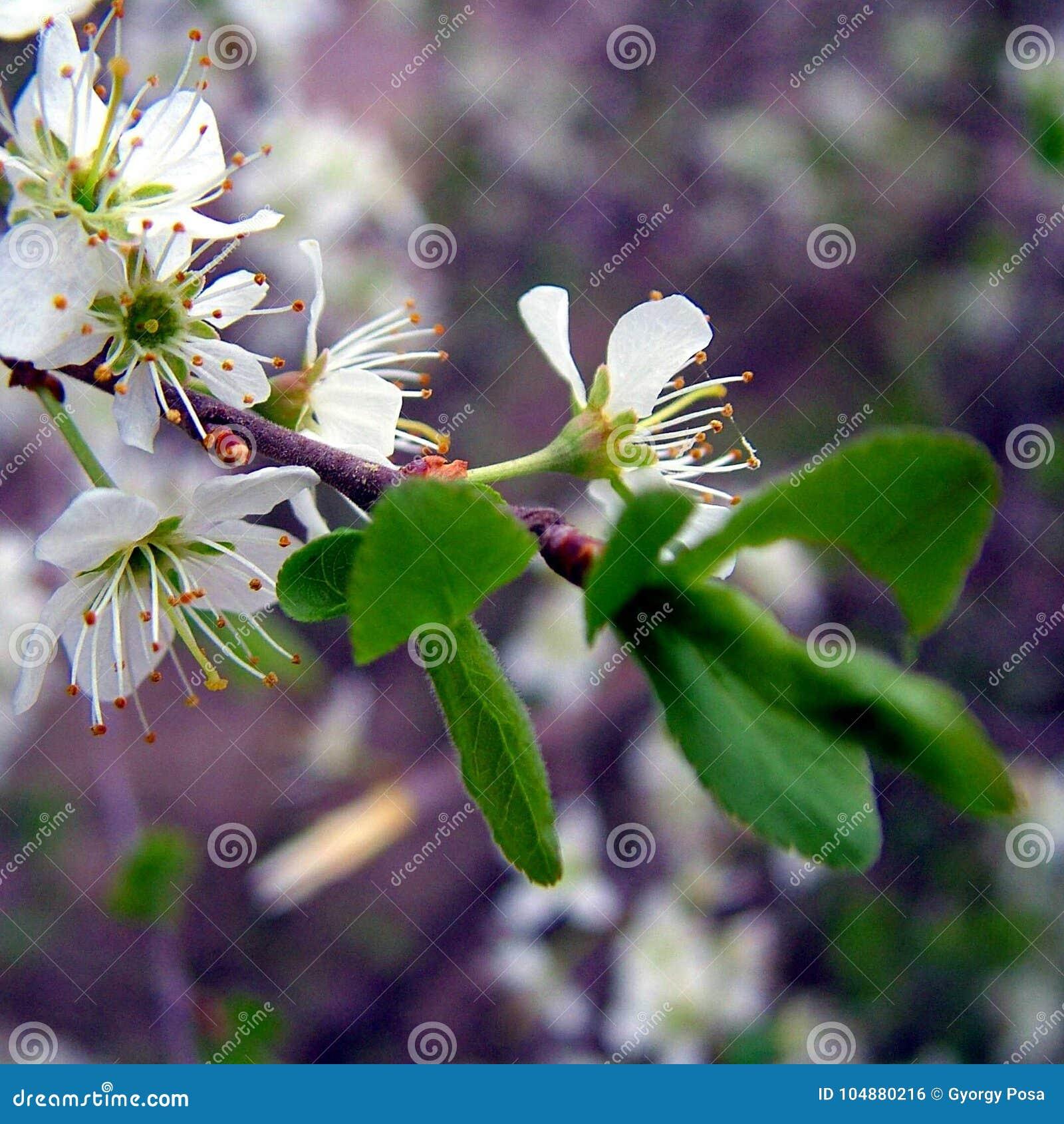 Λουλούδι δέντρων κερασιών
