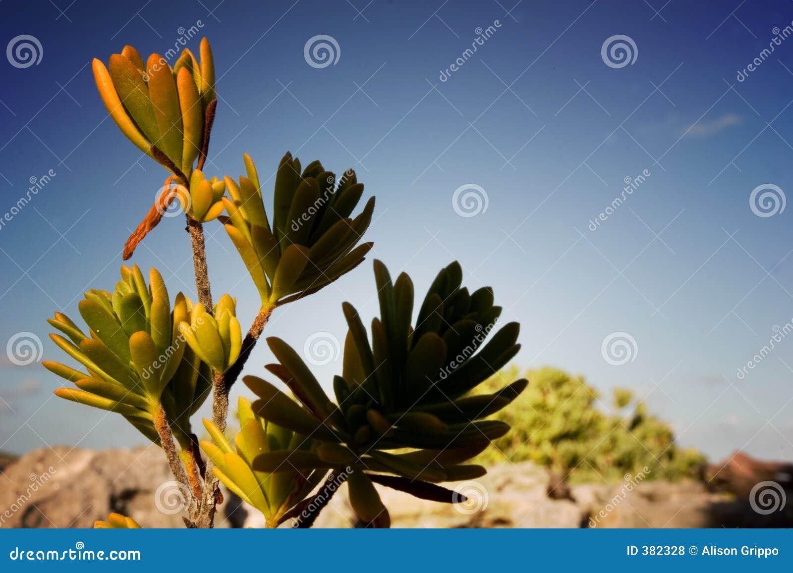 λουλούδι ερήμων
