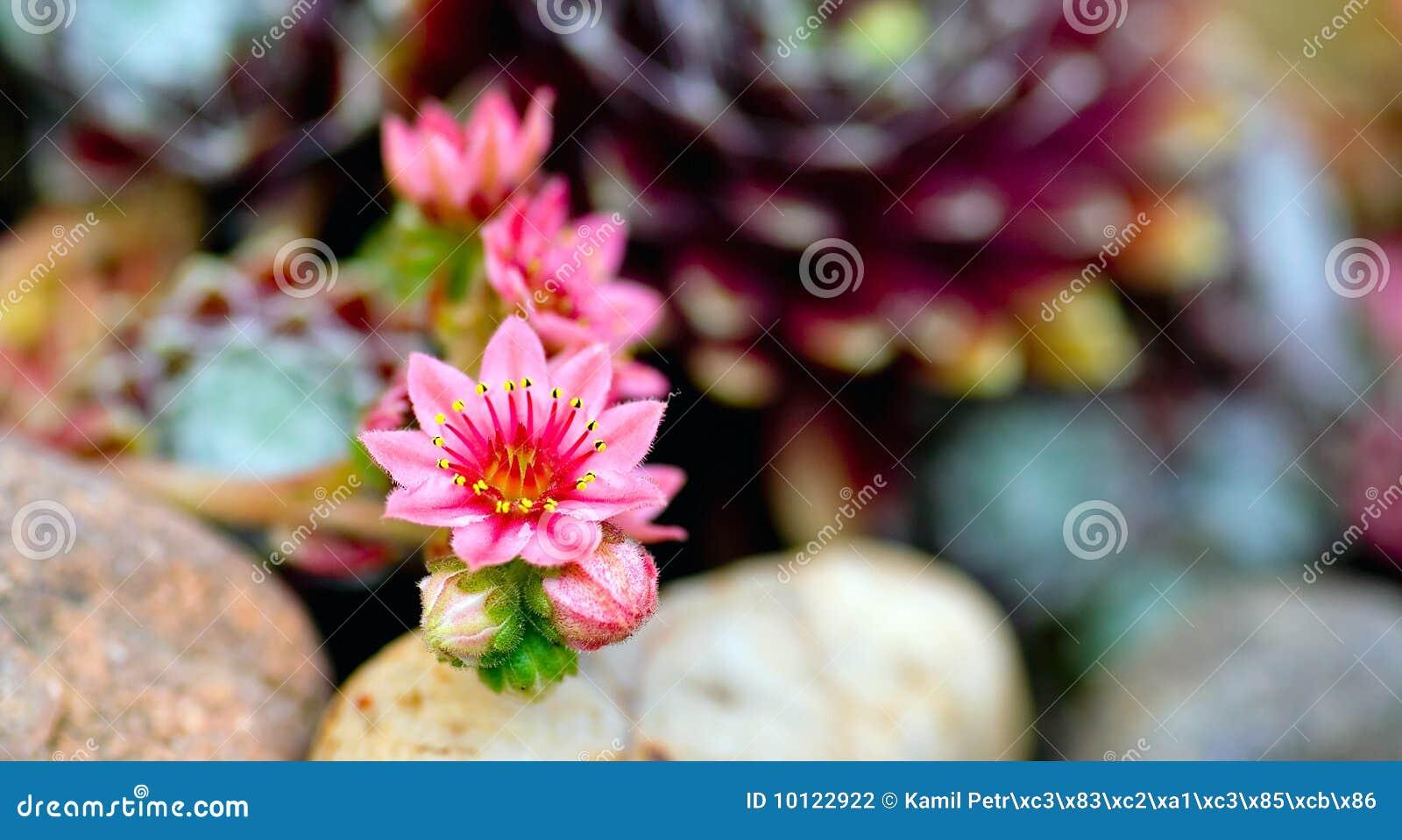 λουλούδι ιστών αράχνης ο&mu
