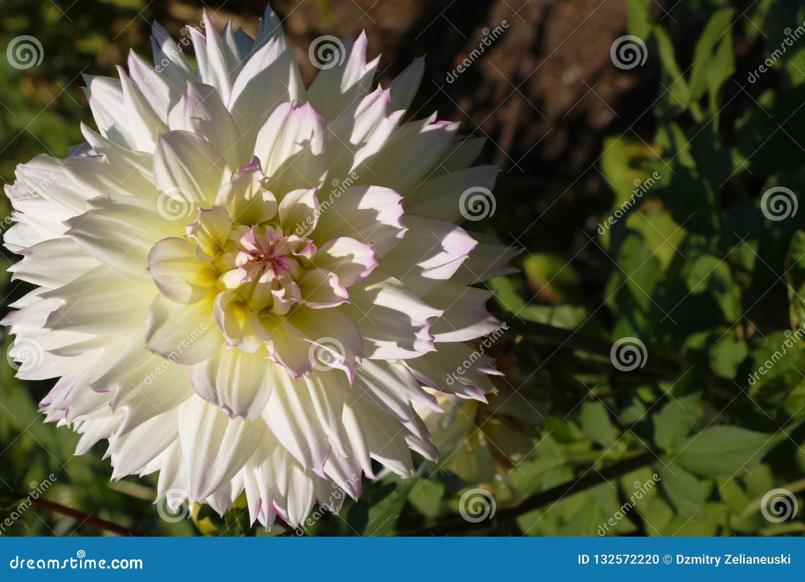Λουλούδι κάκτων νταλιών στενό στον επάνω κήπων Ντάλια με τα κρεμ πέταλα