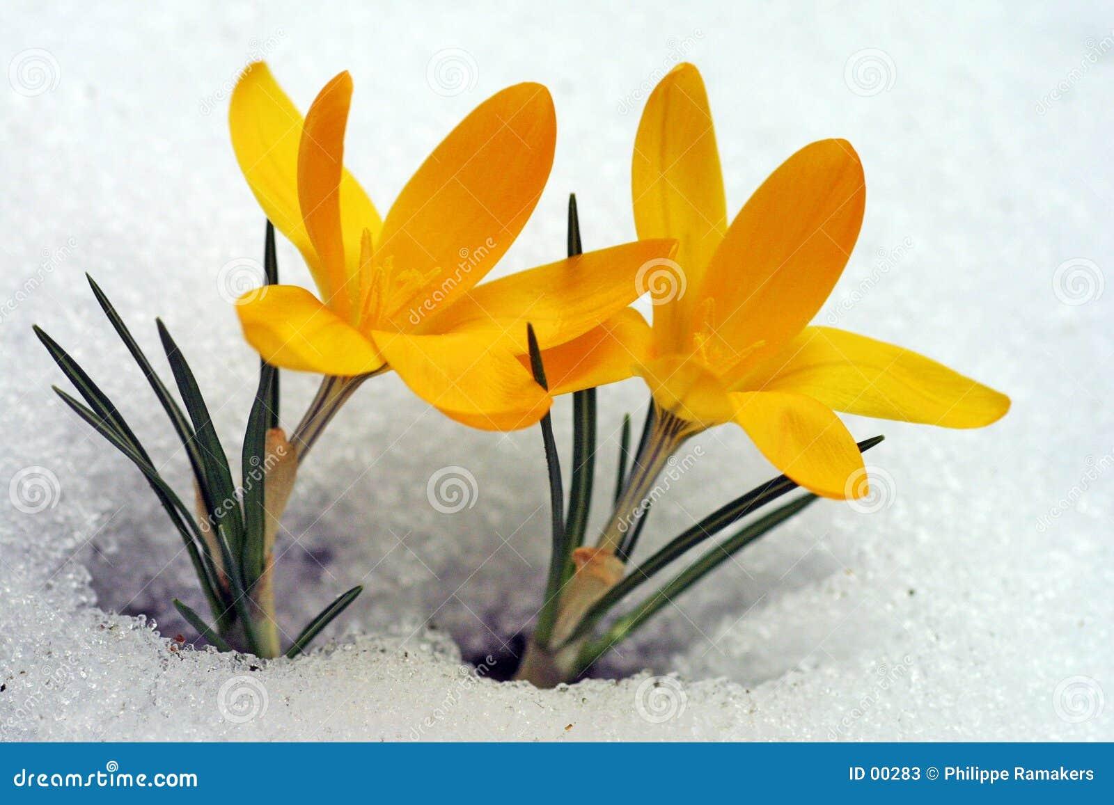λουλούδι κίτρινο