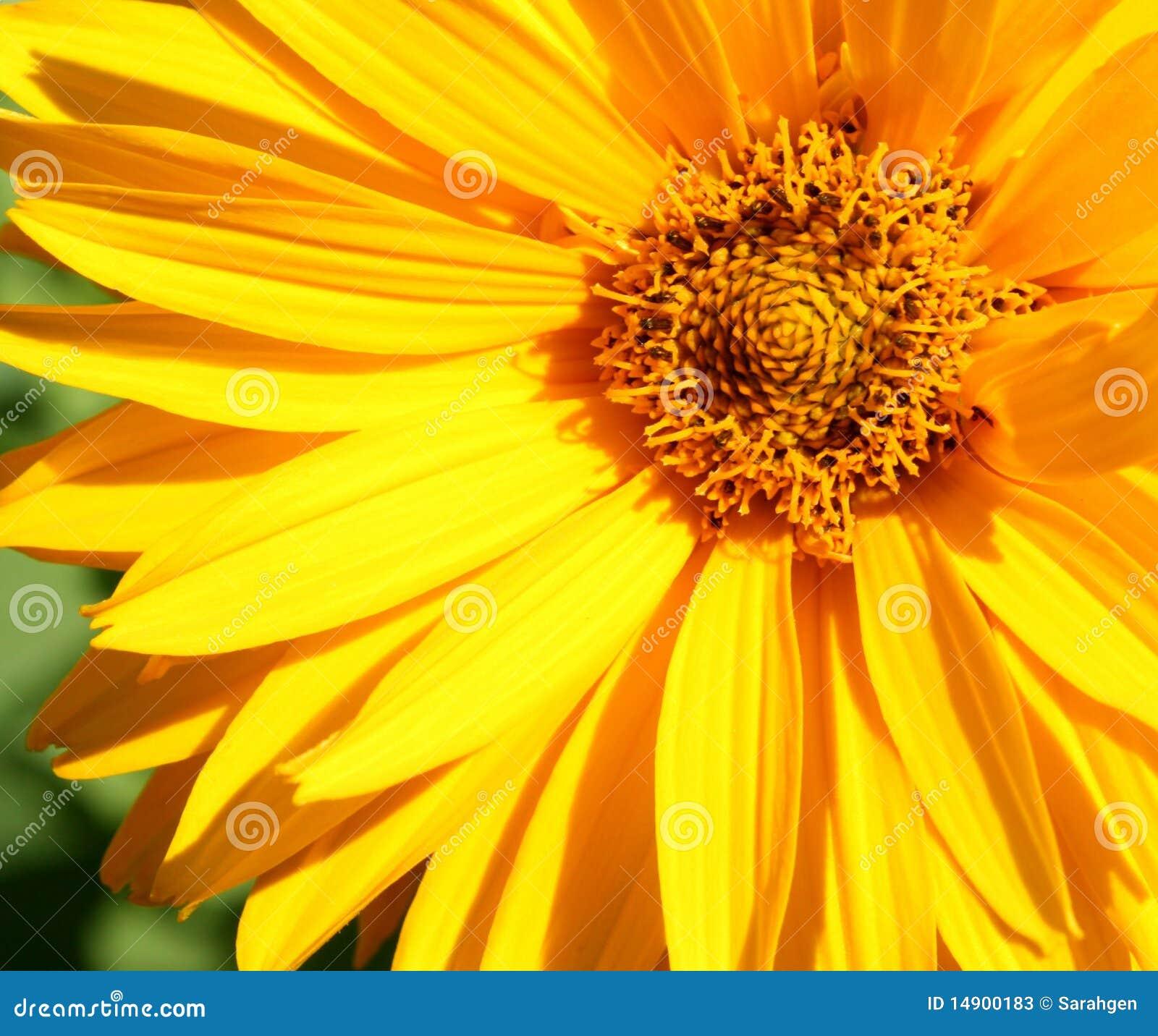 λουλούδι κινηματογραφήσεων σε πρώτο πλάνο κίτρινο