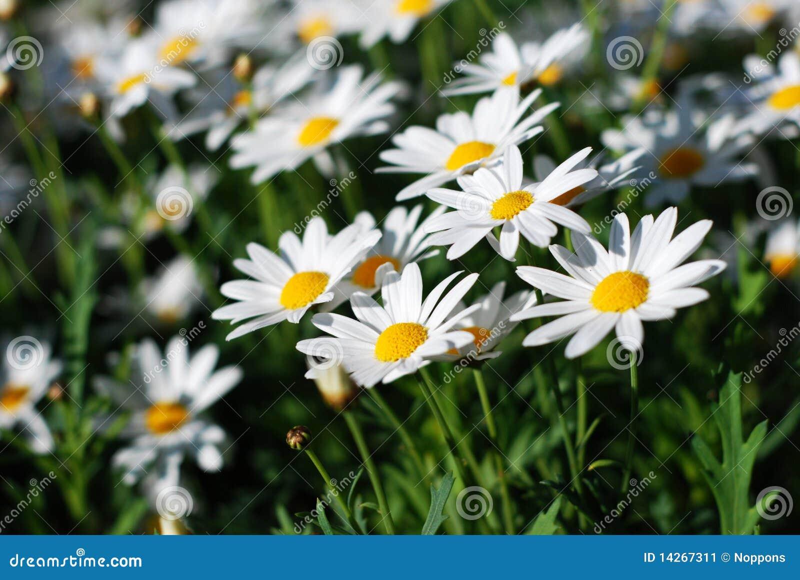 λουλούδι μαργαριτών