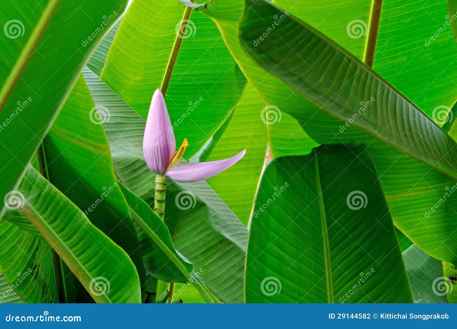Λουλούδι μπανανών