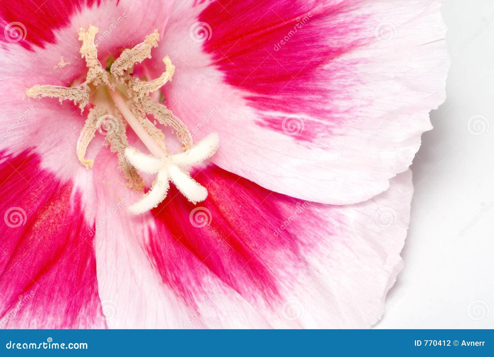 λουλούδι πέρα από το λευκό
