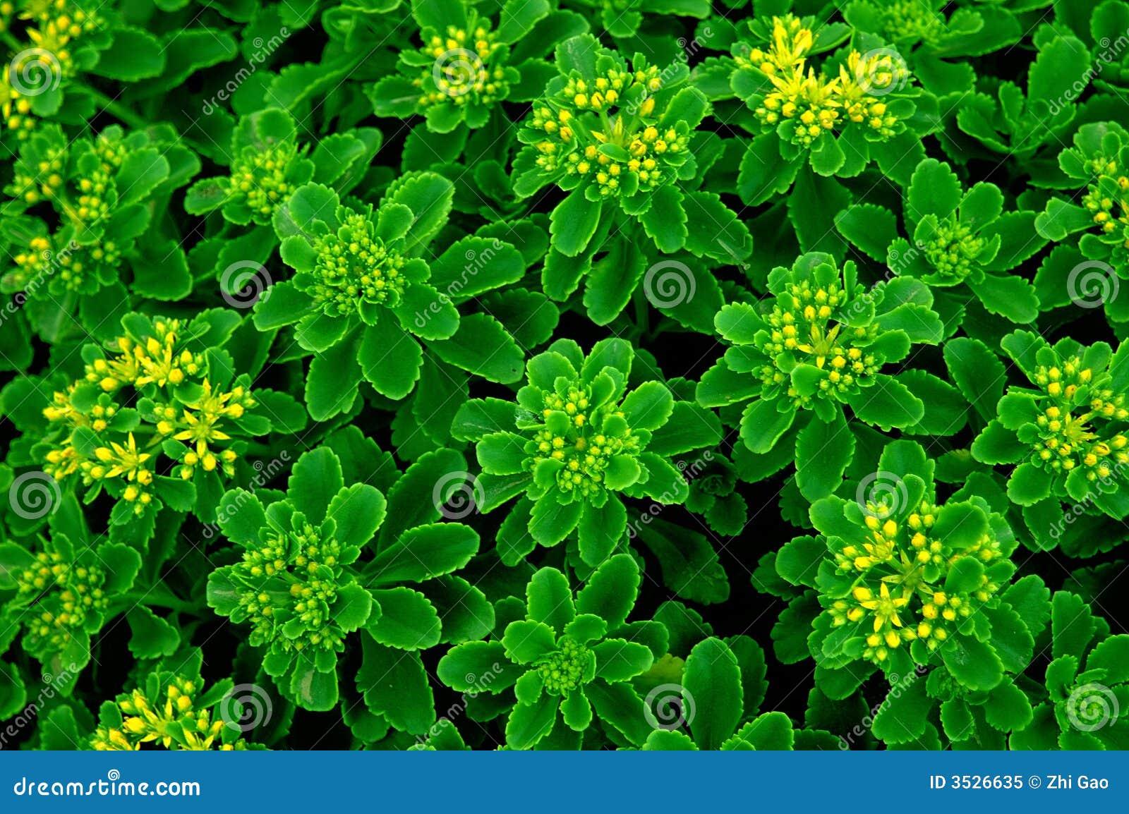 λουλούδι πράσινο