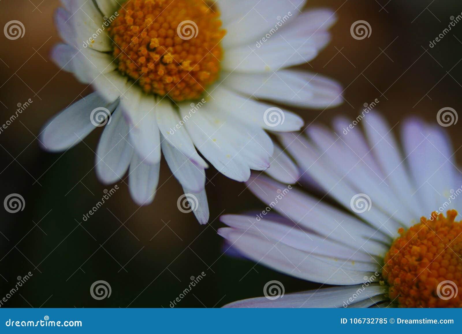 Λουλούδι πρώτων ορόφων του μεσογειακού λεκέ στο salentina χερσονήσων με τις μακροχρόνιες εκθέσεις στον άμεσο ήλιο