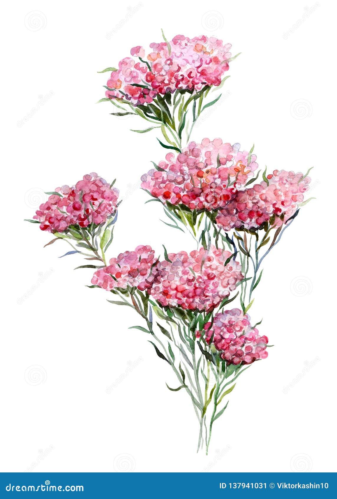 Λουλούδι ρυζιού Handdrawn απεικόνιση watercolor των εγκαταστάσεων απομονωμένο αντικείμενο Στοιχείο για το σχέδιο των ευχετήριων κ