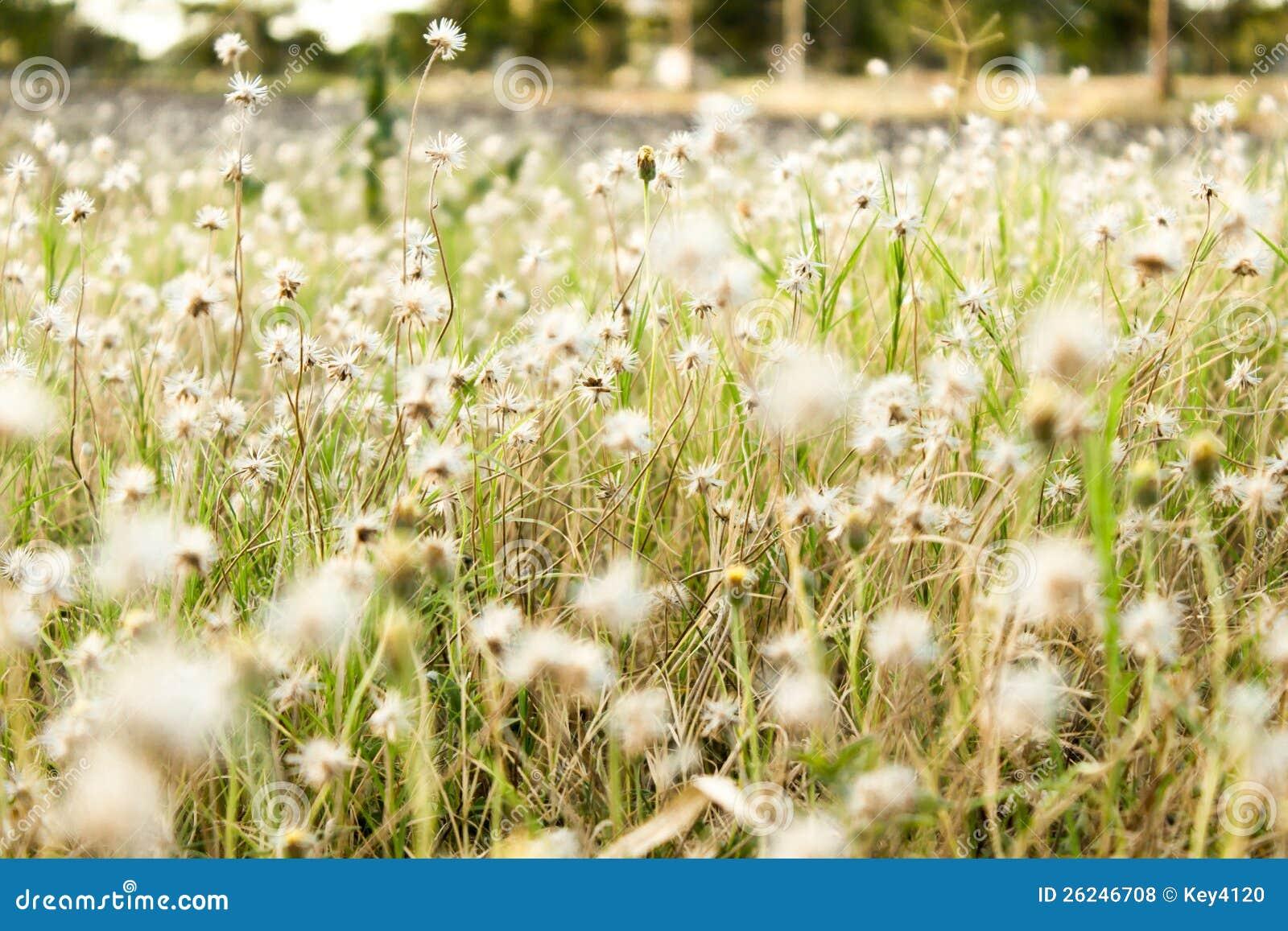 Λουλούδι της χλόης
