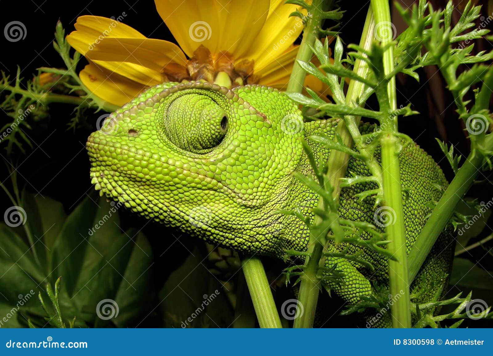 λουλούδι χαμαιλεόντων