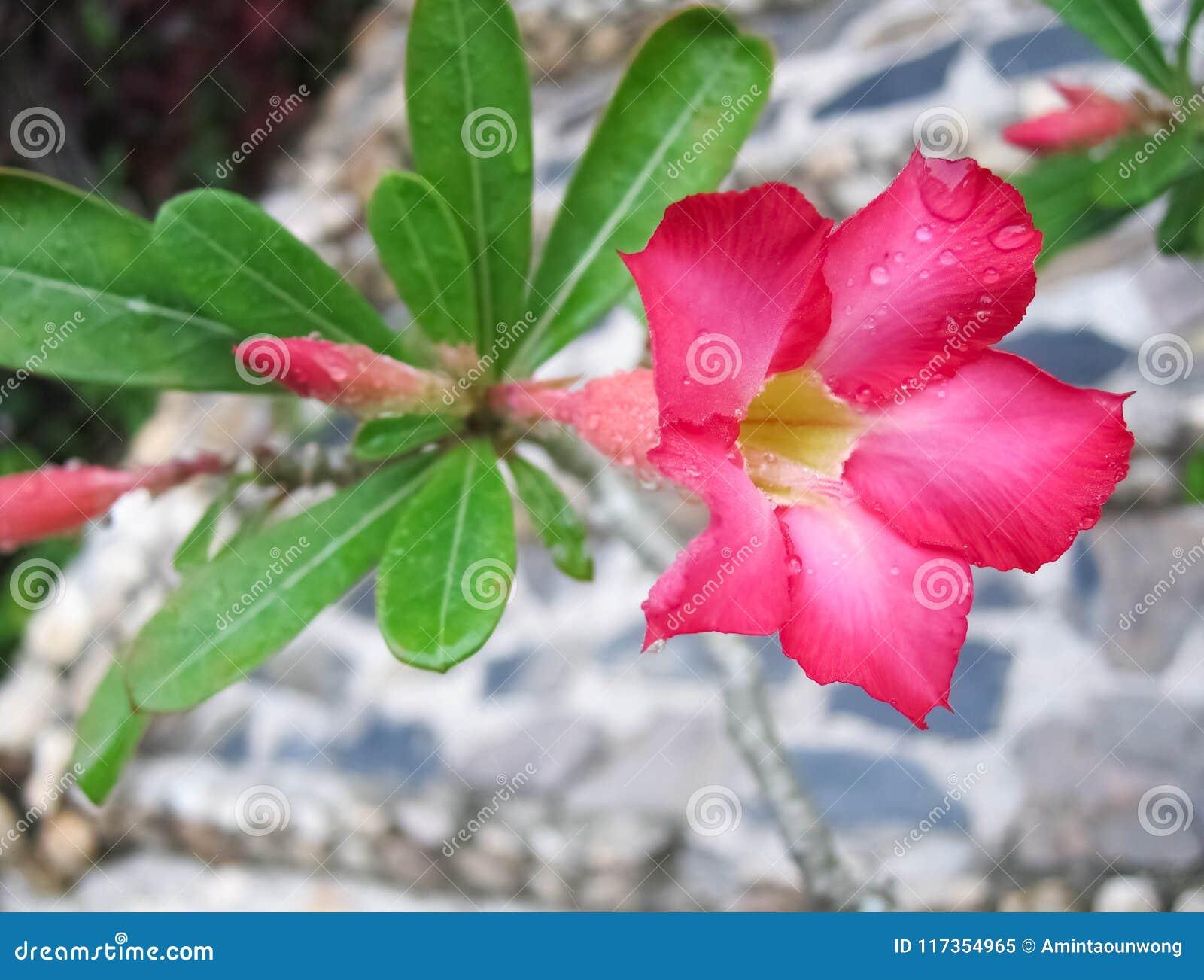 Λουλούδι Adenium