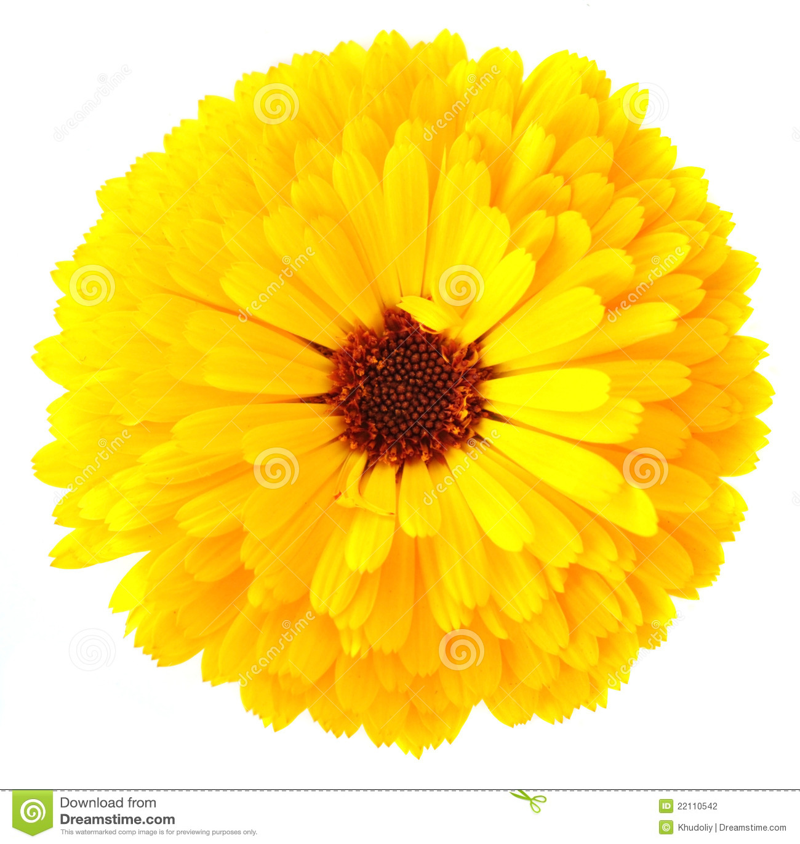 λουλούδι calendula