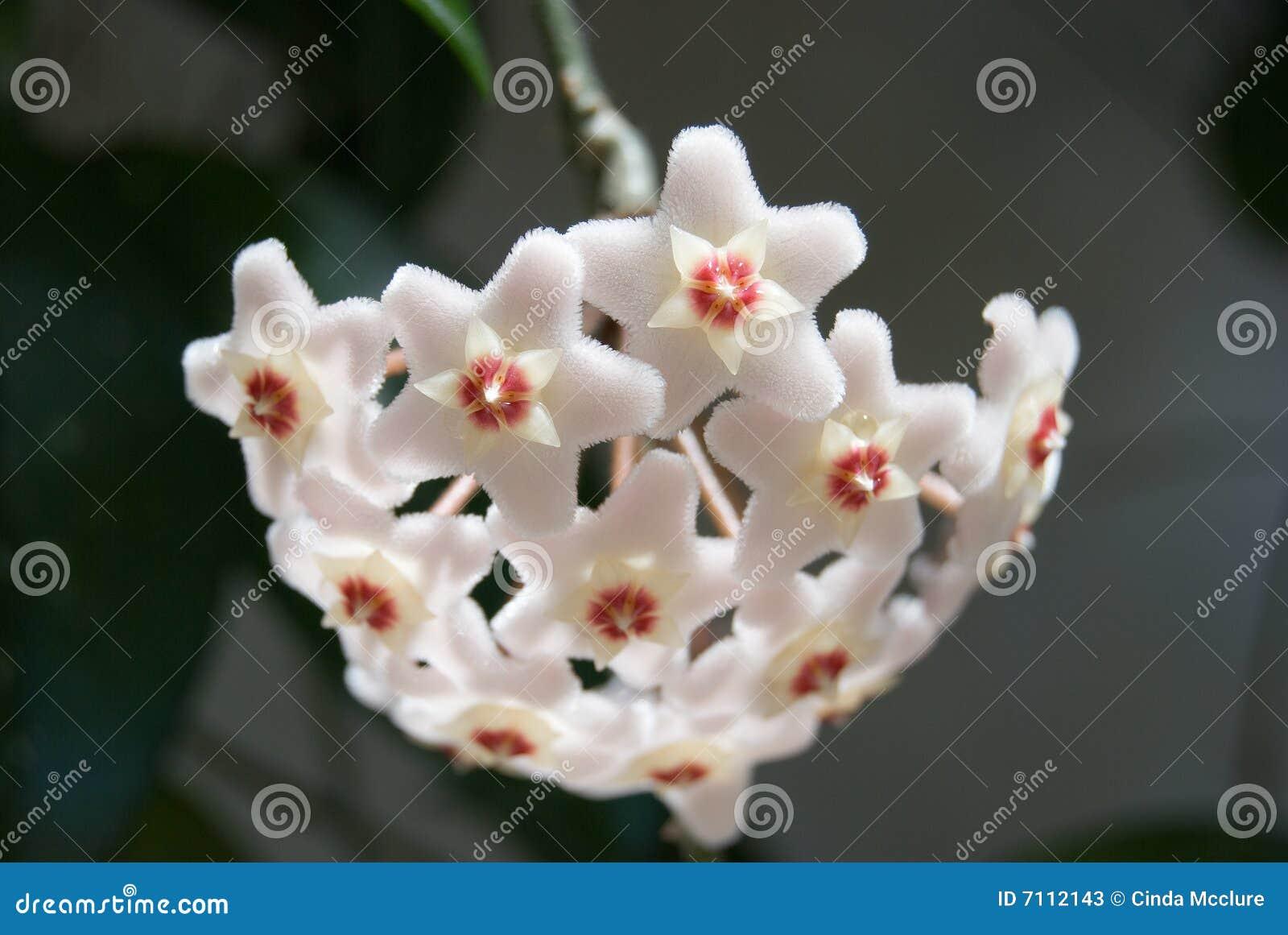 λουλούδι hoya τομέων carnosa