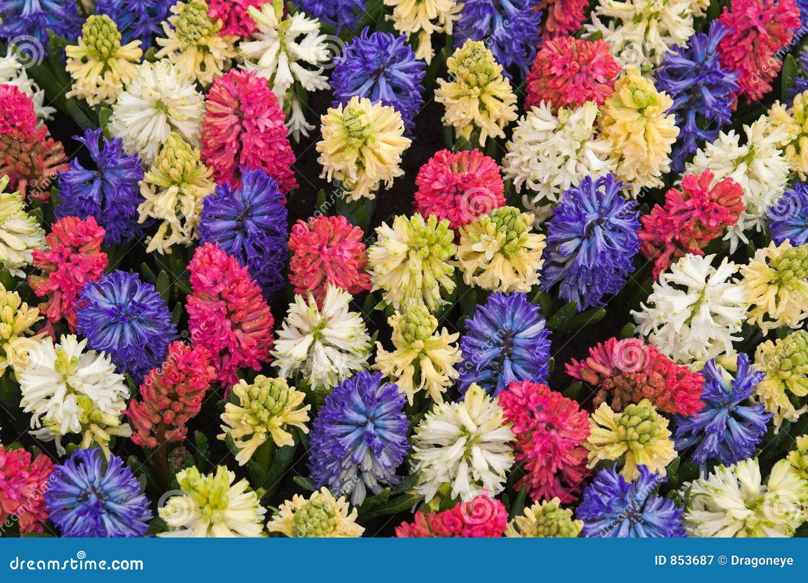 λουλούδι keukenhoff πολύχρωμες Κάτω Χώρες σπορείων