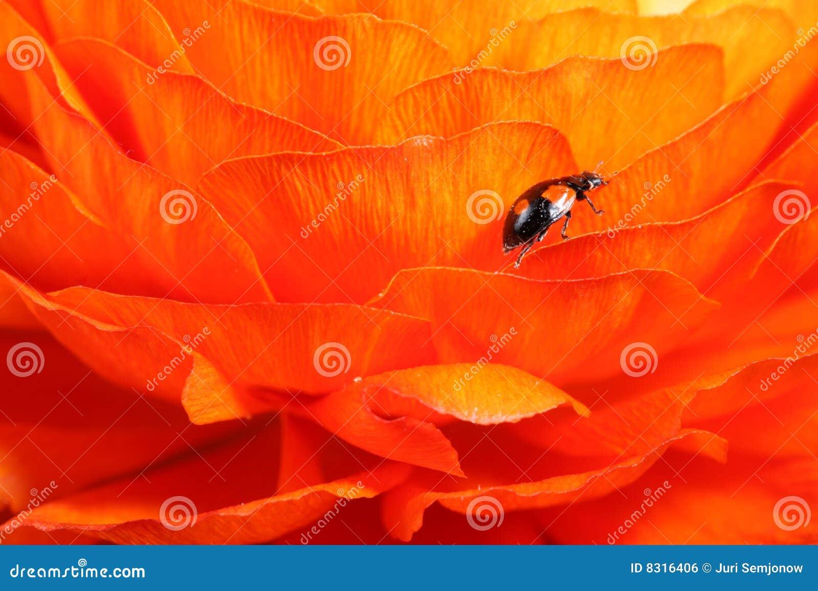 λουλούδι ladybug