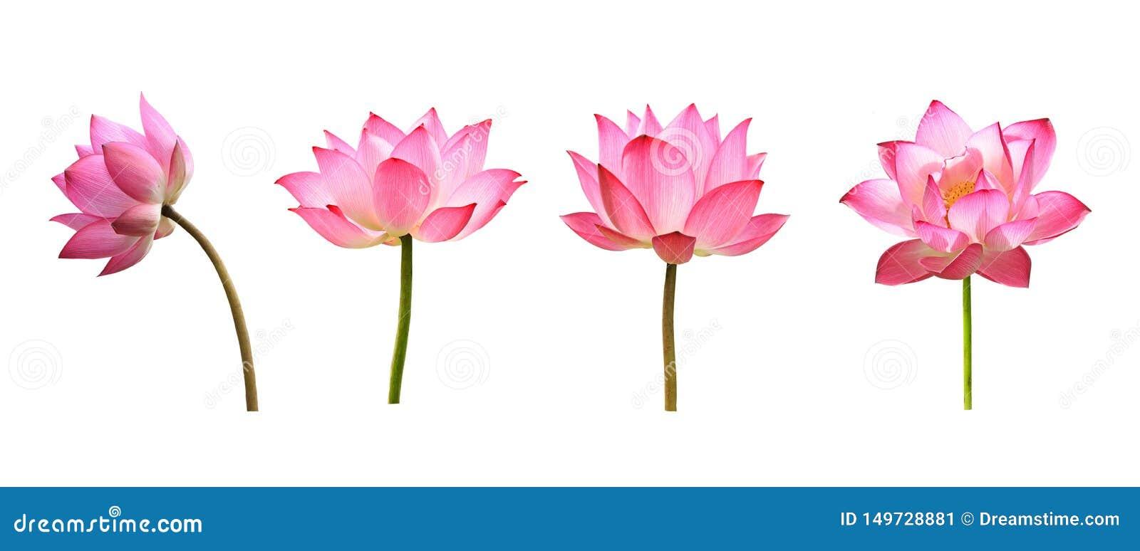 Λουλούδι Lotus στο άσπρο υπόβαθρο