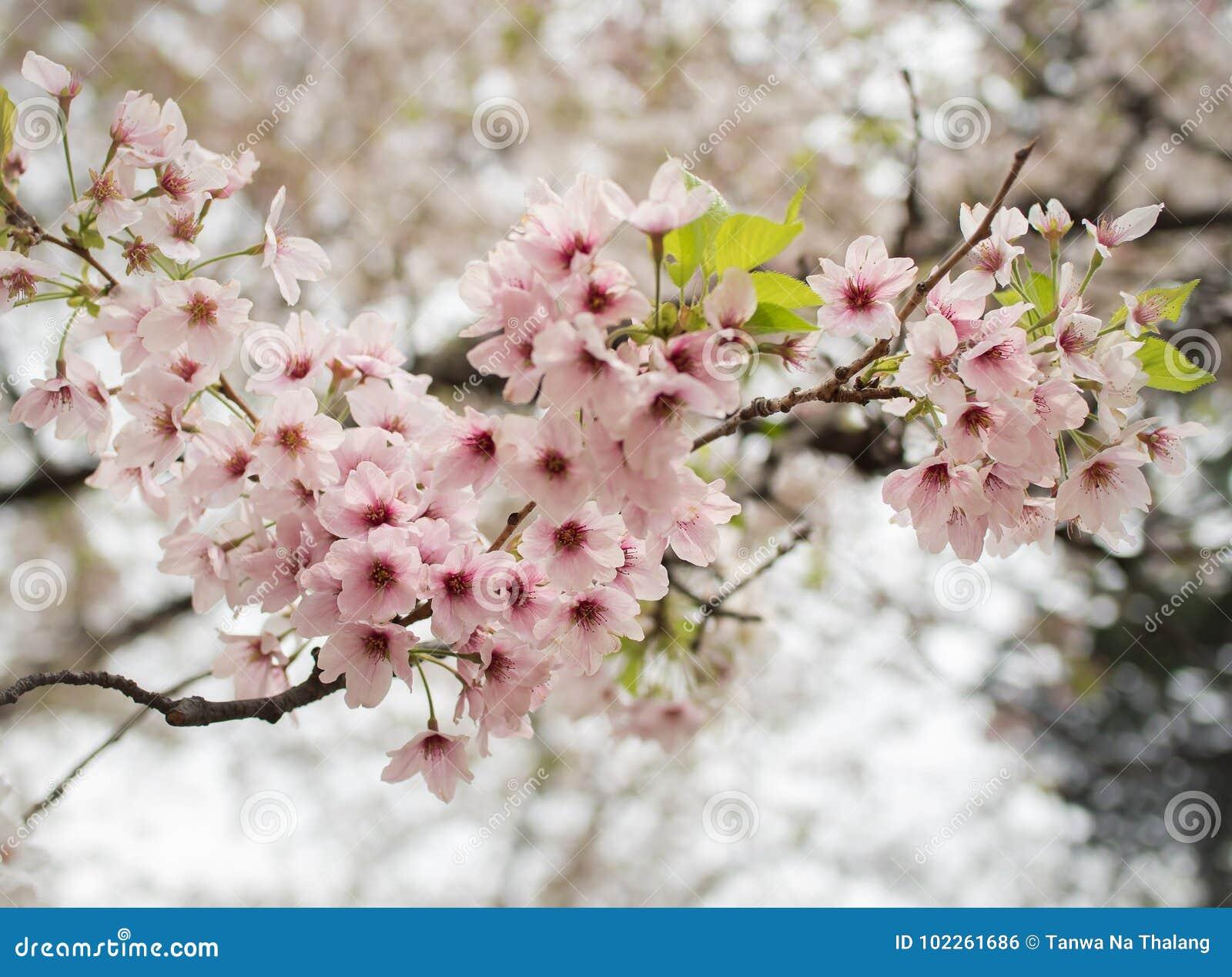 Λουλούδι sakura ανθών στην άνοιξη