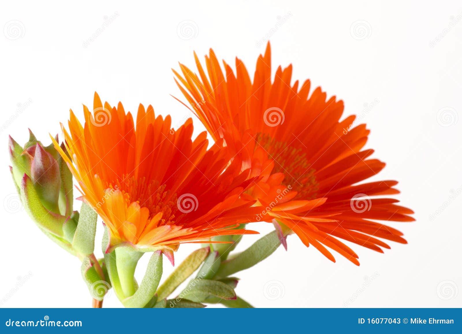 λουλούδι vygie