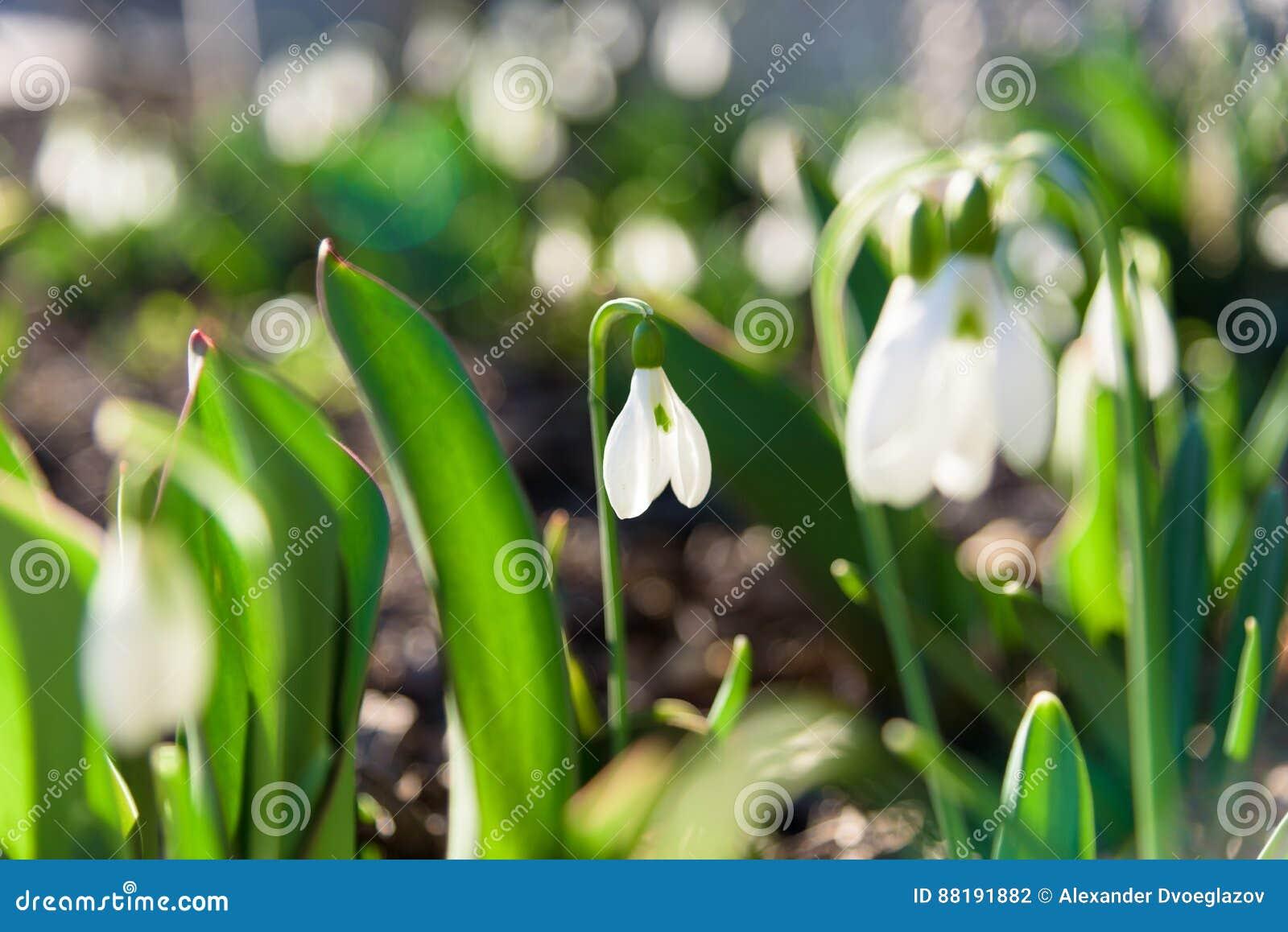 Λουλούδια άνοιξη Snowdrop