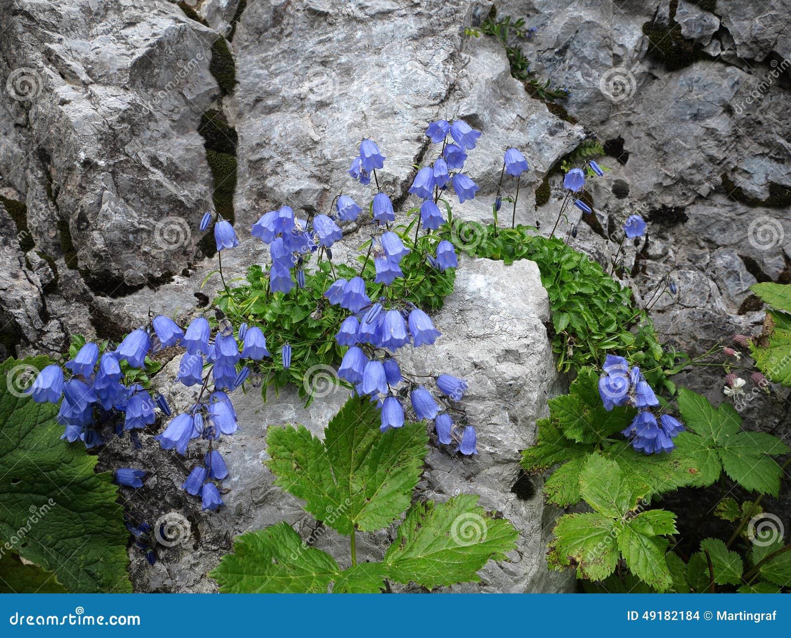 Λουλούδια γεντιανών στο δύσκολο βράχο